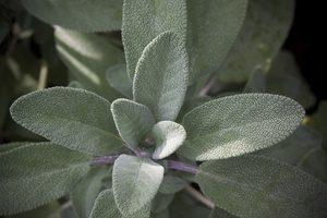 Orvosi zsálya - Mediterrán illat a kora középkor óta